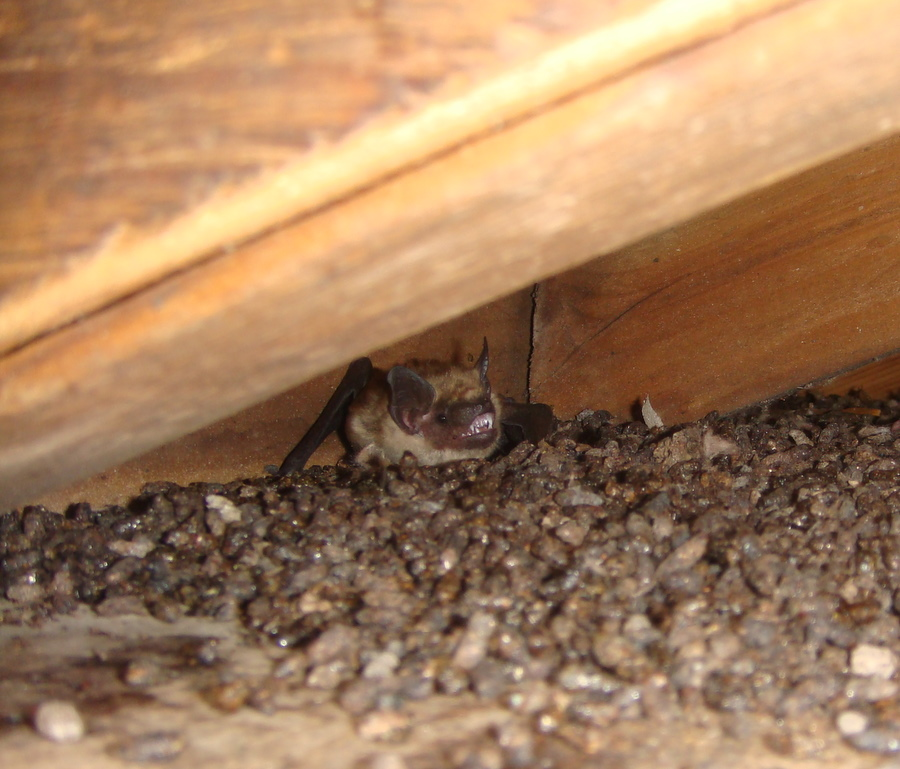 how to get rid of bats in the house attic