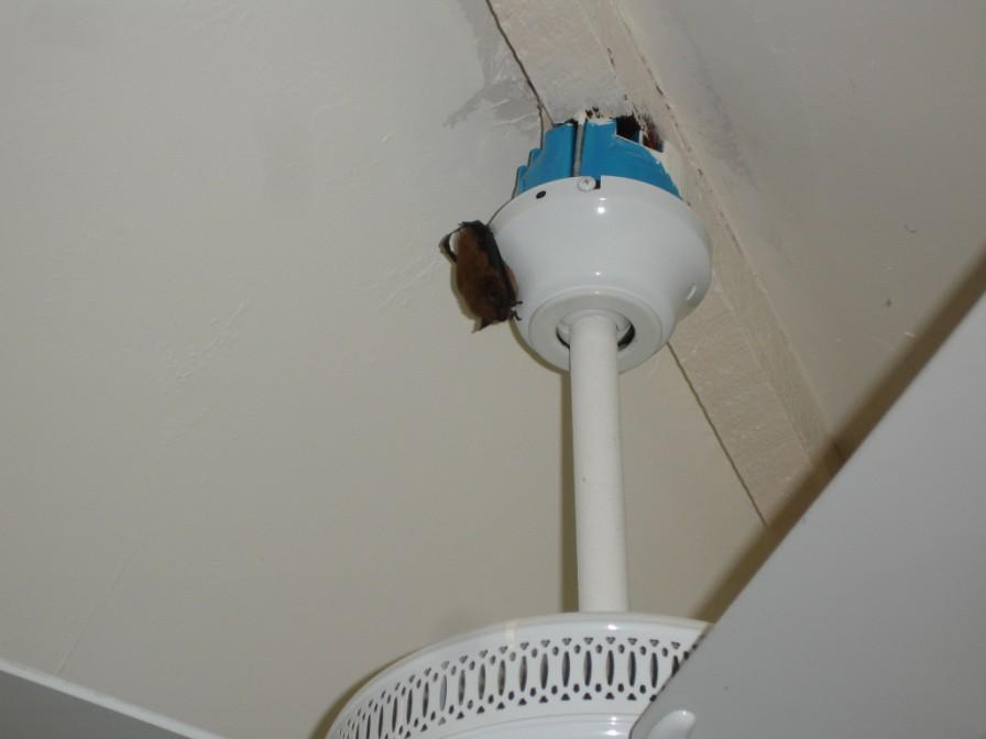 Bat Hanging On A Ceiling Fan