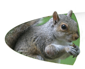 Squirrel Removal Faq Frequently Asked Questions About Squirrel Removal Services