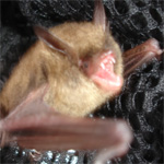 Close-Up of a brown bat, safely netted