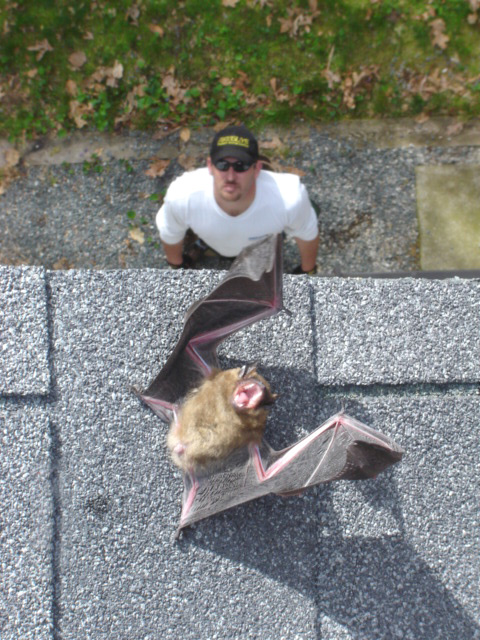 Animal Removal And Exclusion Case Studies Batguys
