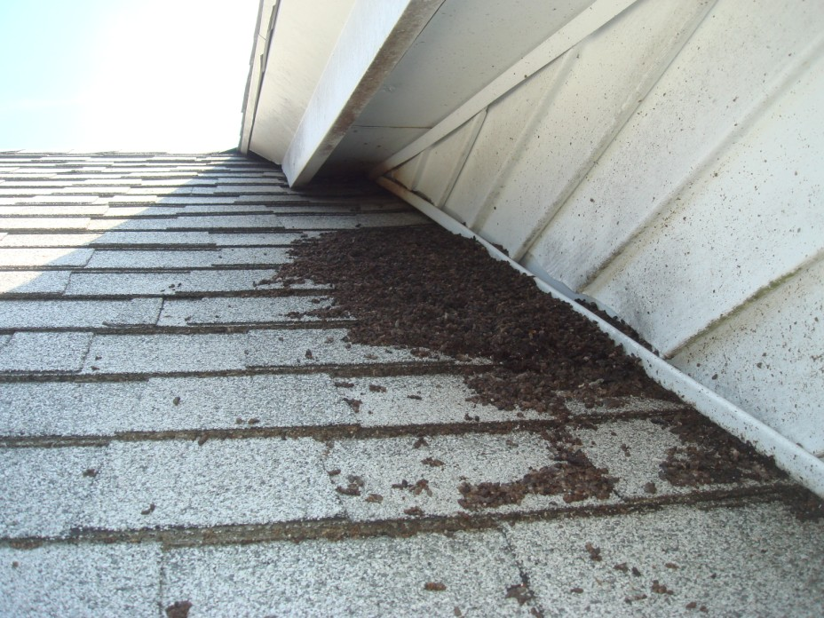 Bat Droppings On Roof