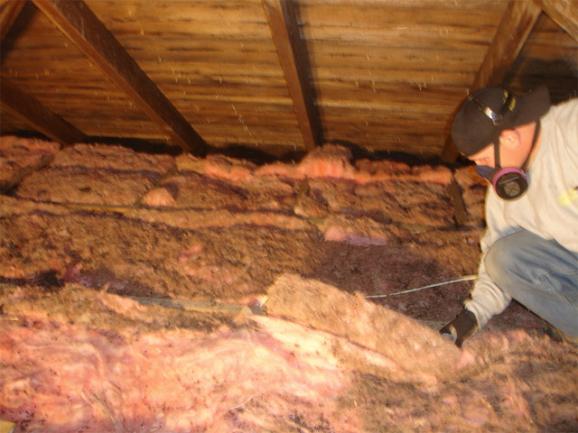 Crystallized Bat Urine Soiled Insulation