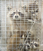 Thumbnail photo of: Caged raccoons