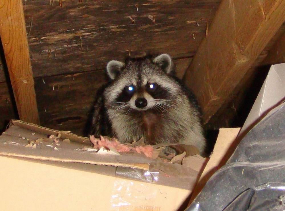 Raccoon Removal In Massachusetts And Rhode Island Getting
