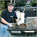 captured family of raccoons