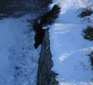 skunk looking down from roof