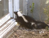 skunk looking in window