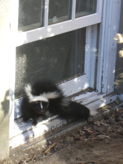 Skunk and Skunk Odor Removal in Rhode Island - BatGuys Case Study