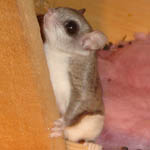 flying squirrel
