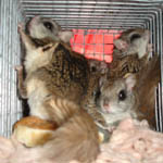 flying squirrels in cage