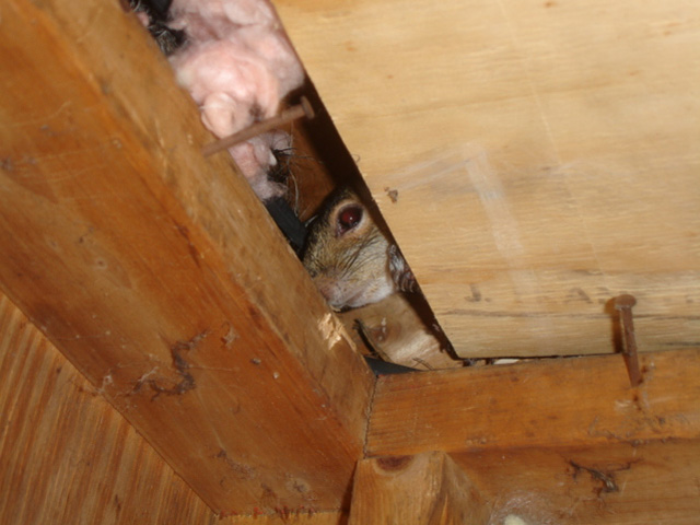 Gray Squirrel peeking at me in an attic during a Boston Squirrel removal project.