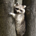 raccoon hanging out in a tree