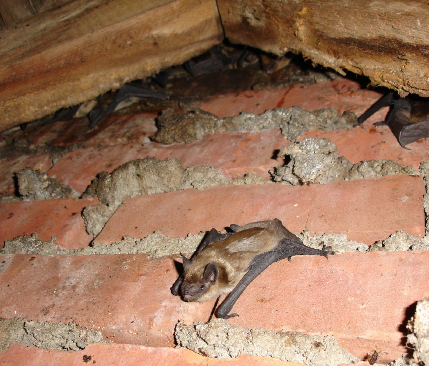 Juvenile Bat Emerging