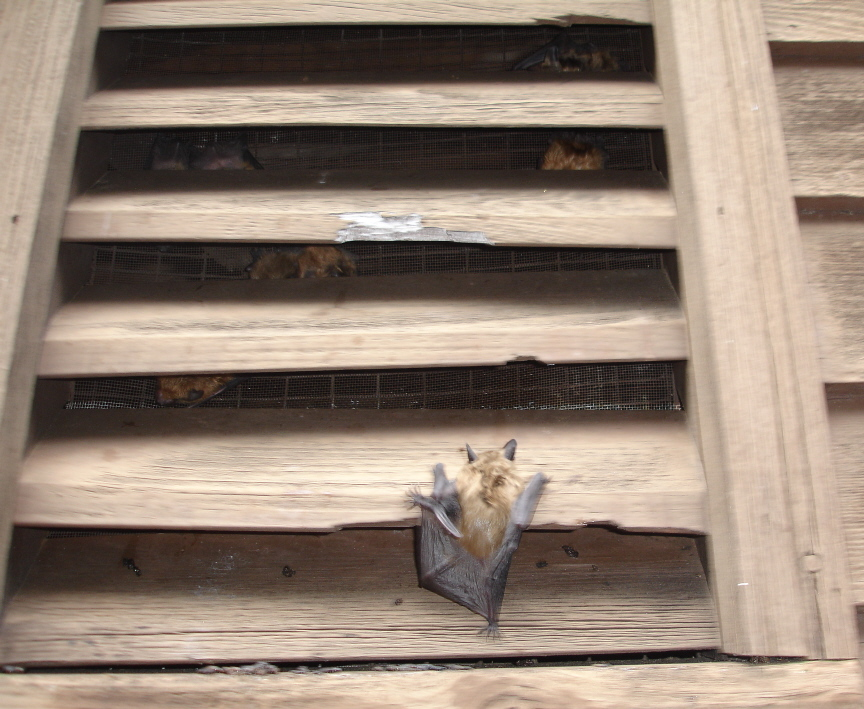 I Took These Pictures During An Inspection Of A Home In Kingston Ma As Roached This Gable Vent Few Bats Flew Out Circled Back Around And Landed
