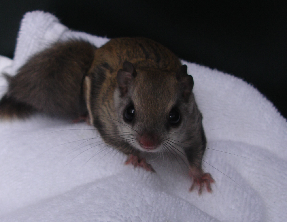Squirrel Removal Services In Newton Watertown And Boston