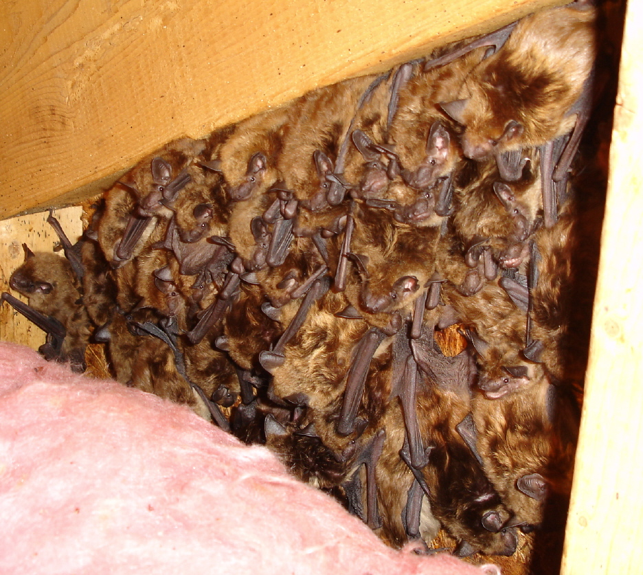 Removing Bats From Attics Batguys Wildlife Update June