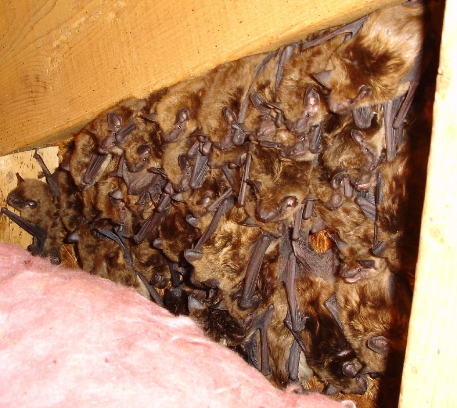 Removing Bats From Attics Batguys Wildlife Update June