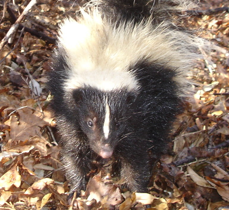 Skunks are omnivores, meaning that they can eat almost anything