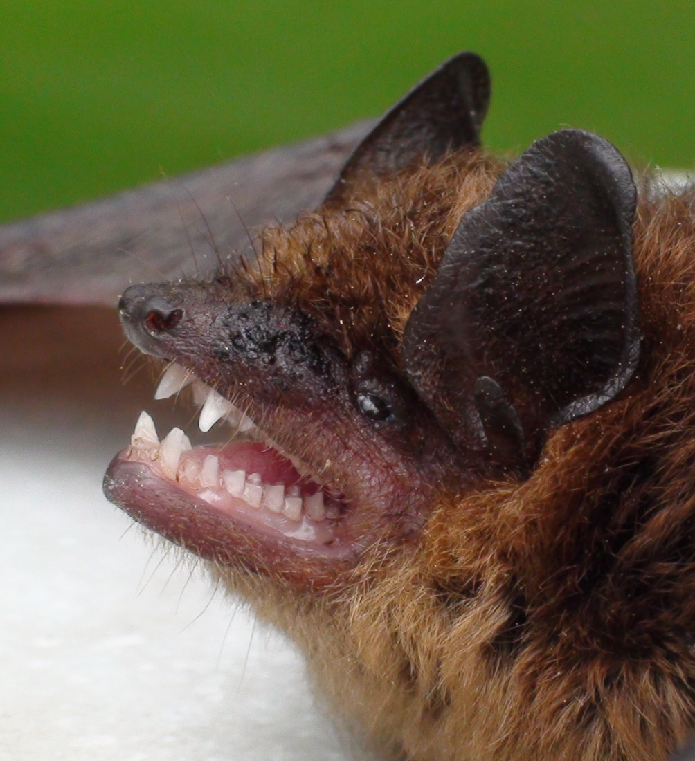 Bat Removal And Bat Proofing Services In Massachusetts