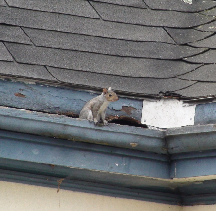 Bat Removal, Squirrel Removal and Nuisance animal REMOVAL in ...