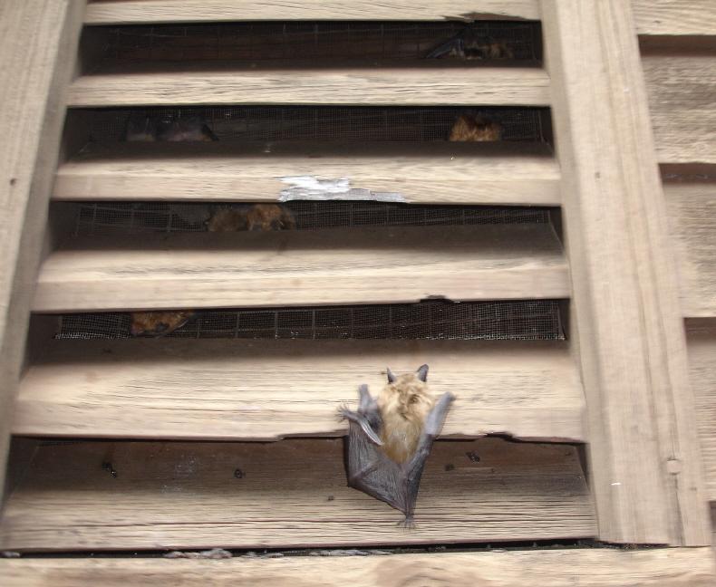 Bats Love Gable Vents