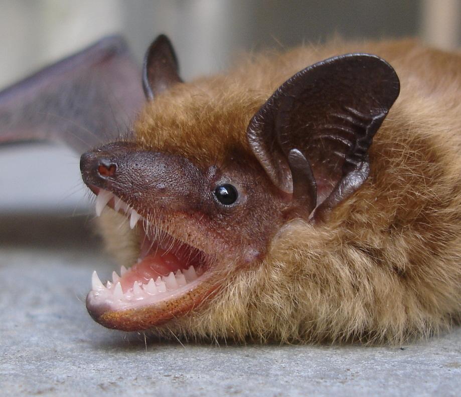 Little brown bat - photo#16