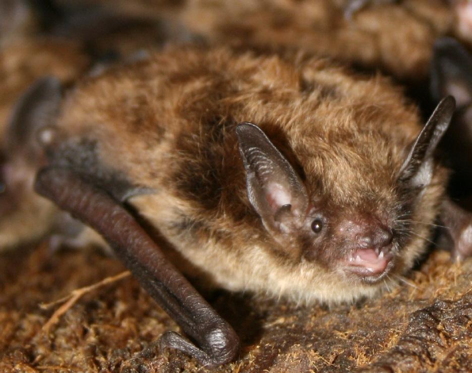 Little brown bat - photo#1