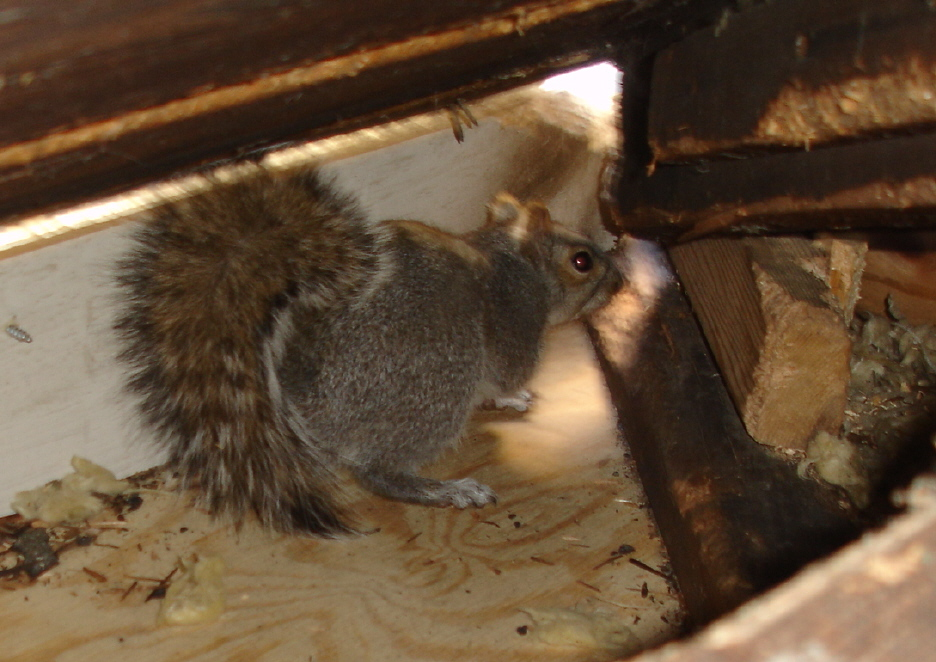Squirrel Removal Faq Frequently Asked Questions About