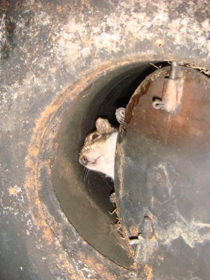 Squirrel Infestation Squirrel Removal Batguys Wildlife