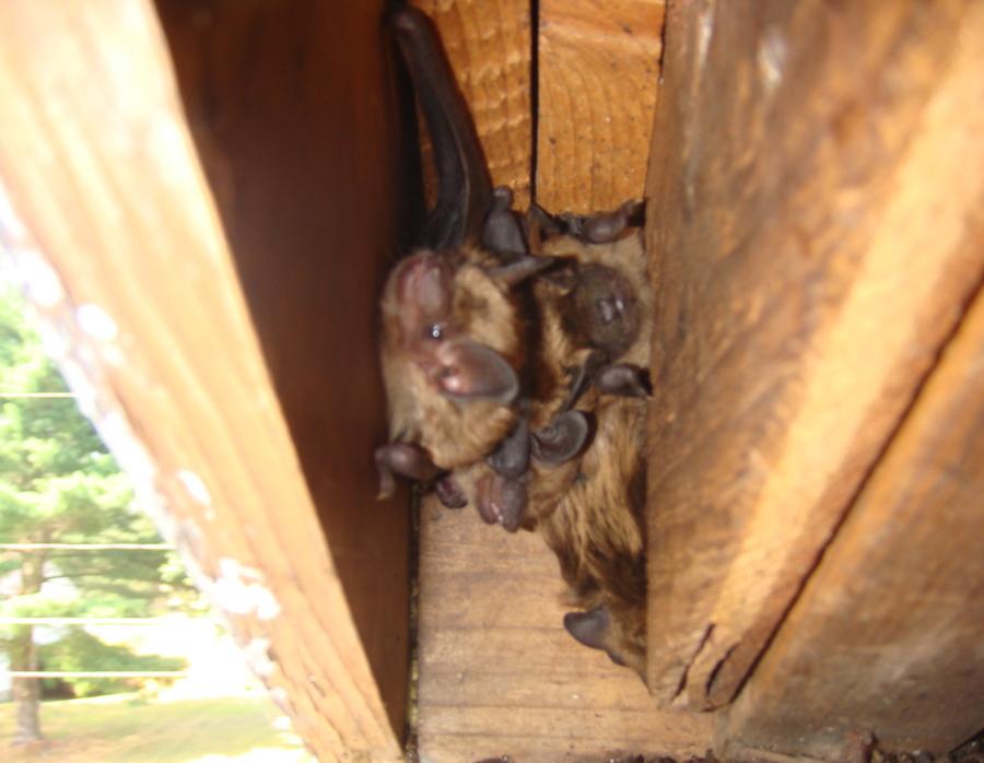 New Hampshire Bat Removal A Closer Look At A Nh Bat