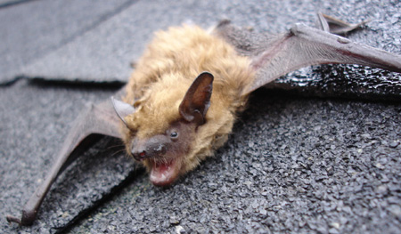 Bat And Flying Squirrel Removal In Andover Massachusetts
