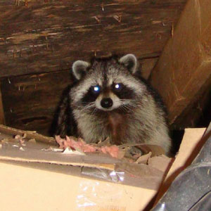 Animal Removal In North Attleboro Massachusetts Area