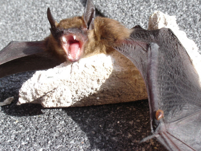 Bat Guys Bat Exclusion Services Help There S A Bat In My