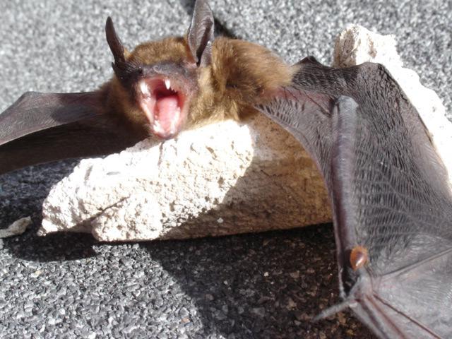 Bat Bearing Teeth