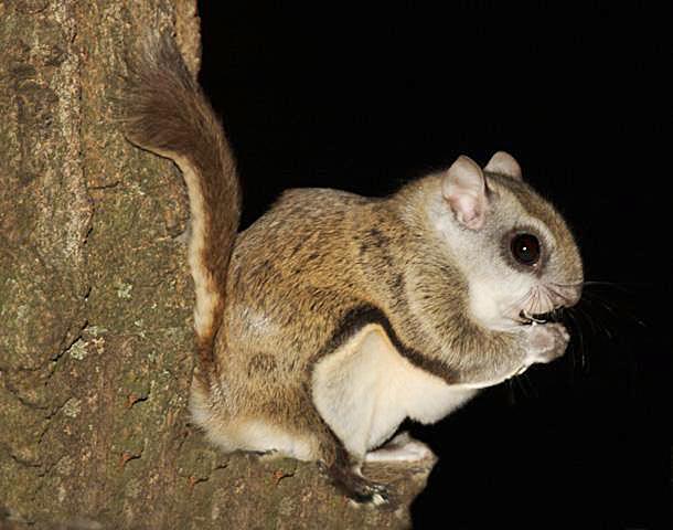Squirrel Removal in Massachusetts Squirrel Exterminators How
