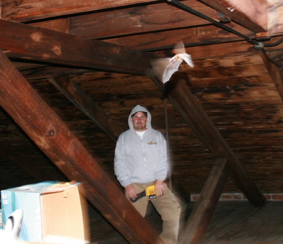 Removing Bats From Attics Batguys Wildlife Update