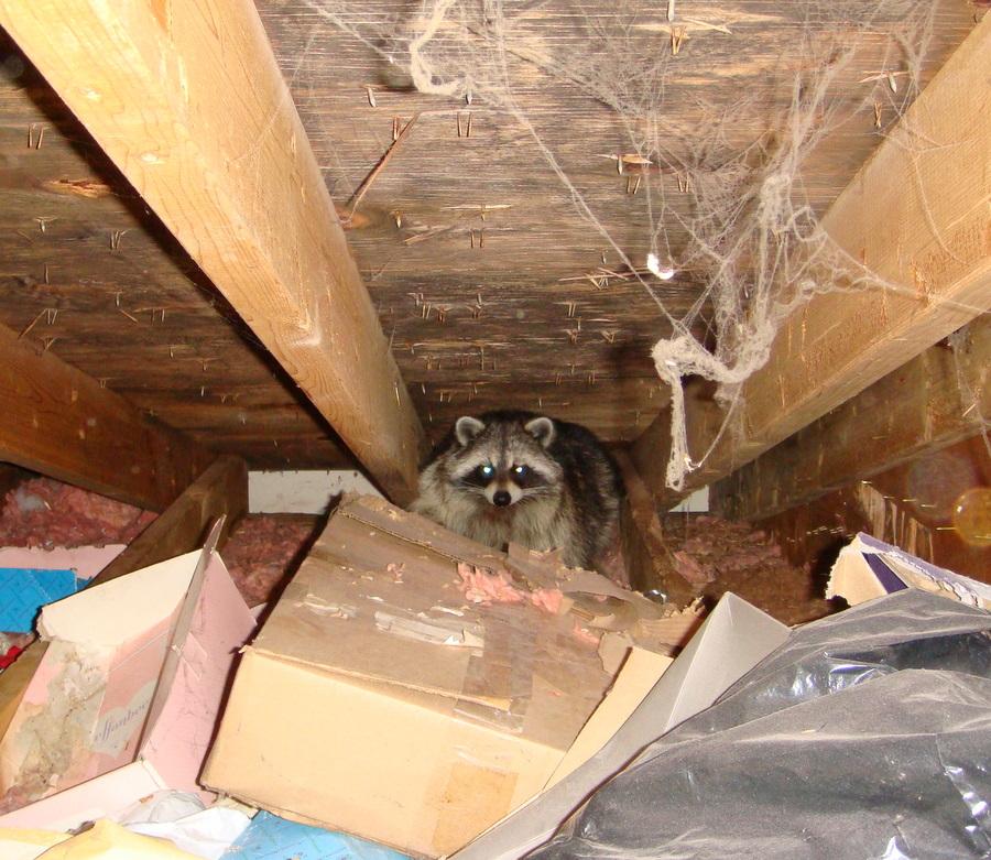 Critter Removal In Massachusetts Batguys Wildlife Update