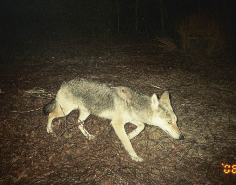 Coyotes In Massachusetts Pictures Of Coyotes
