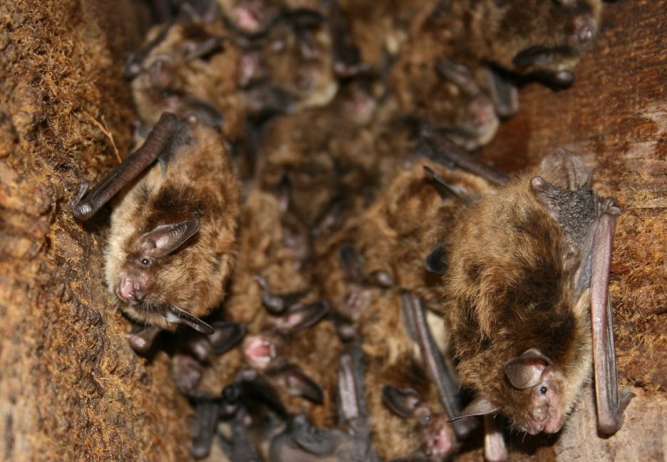 Bats In Massachusetts Little Brown Bats And Big Brown Bats