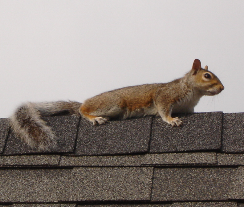 Squirrels In My Walls And Ceiling Abahcailling Co